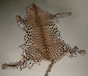 A picture of the leopard skin now under scrutiny